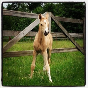 foal-in-field