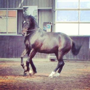 work-in-hand-canter-pirouette